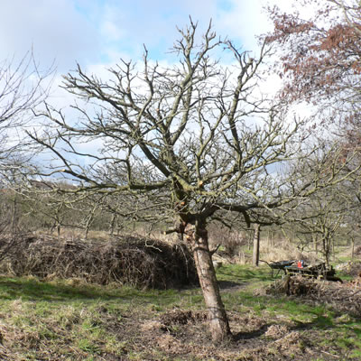 Holsteiner Cox Baum im Winter